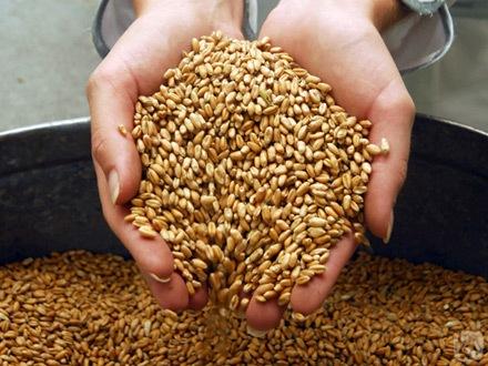 В Румынии вырастет урожай пшеницы